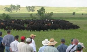 Mob-grazing in action. Note that the cattle are clustered tightly together, not scattered like on extensive pastures. This is necessary for the grass and soil to benefit.